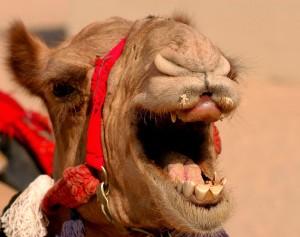 Посмішка верблюда