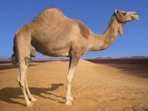 Арабський верблюд