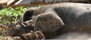 Pent 5 pig