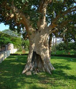 Дерево на яке заліз Закхей в Єрихоні